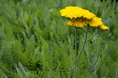 Achillea 'Sunbeam' (Melissa-Gale) Tags: flower yellow photography gold melissa gale mg bloom gail yarrow achillea sunbeam perennial gorman berard mg00188