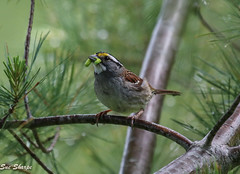 White-throated Sparrow (Sue D Sharpe) Tags: whitethroatedsparrow sparrow gatheringfood nesting singing algonquinpark ontario