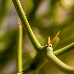 Pencil cactus (kevin dooley) Tags: pencil cactus pencilcactus