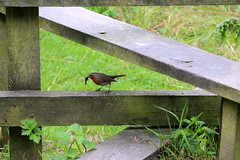 Robin (Crisp-13) Tags: isle wight shanklin robin stile caterpillar