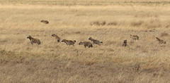 I Can Smell It, It's Over There ... (AnyMotion) Tags: spottedhyaena tüpfelhyäne fleckenhyäne crocutacrocuta hyena pack rudel 2015 anymotion ngorongorocrater tanzania tansania africa afrika travel reisen animal animals tiere nature natur wildlife 7d2 canoneos7dmarkii ngc npc
