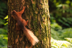 Schotland 2017-123 (Switch62) Tags: scotland 2017 aberfoyle dukes pass visitor centre red squirrel