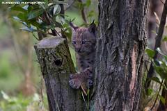 Eurasian lynx cub - Dierenrijk (Mandenno photography) Tags: dierenpark dierentuin dieren animal animals lynx eurasian european luchs nederland ngc netherlands dierenrijk spinner