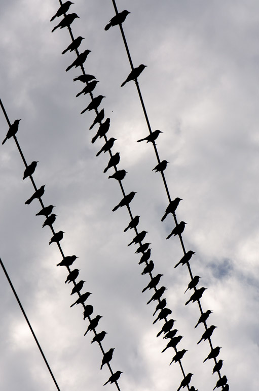 birds_powerlines_0065