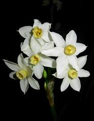 Narcissus tazetta (Mat.Tauriello) Tags: sardegna italy flower bulb mediterranean mediterraneo italia sardinia lily daffodil species cagliari sardinien narciso hermione narcissus cerdea tuber tazetta italica rhizome amaryllidaceae sardenya sardigna corm italicus geophyte narcissustazetta chione sardinnia tazzetta narcissustazzetta sardngia argenope argenopeserotina queltia linneanus hermioneitalica