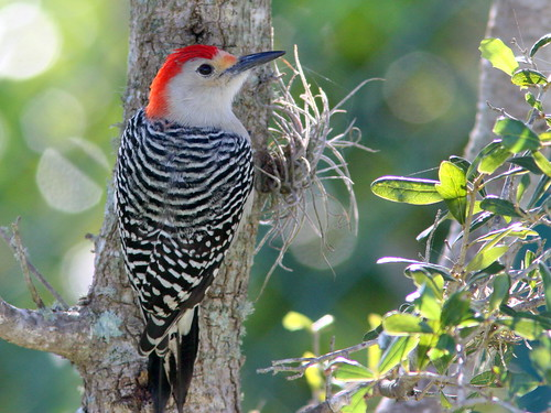 Red-bellied Woodpecker 20091226