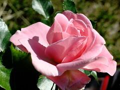 A chi mi vuole Bene! (bernard_05) Tags: verde canon rosa natura fiori excellentsflowers canong10 bernard05