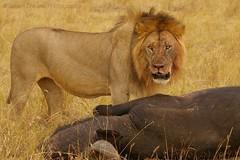 Lion with Buffalo (GreenDreamsPhotography) Tags: buffalo kill kenya wildlife lion safari bigcat prey simba predator kenia bigfive masaimara buffel leeuw maasaimara prooi jacht roofdier katachtige