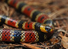 Variable coral snake (Andrew Snyder Photography) Tags: macro lat