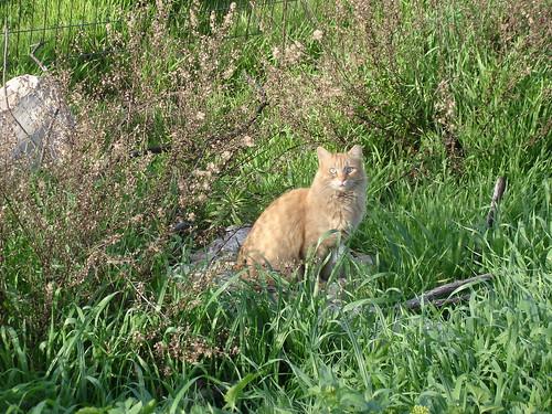 Orange cat 6