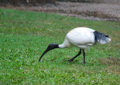 Aussie Ibis (tkmckinn) Tags: birds australia july09