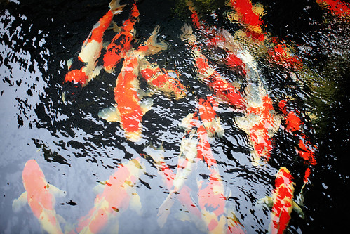 8/365: Koi Fish Pond