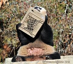Mama mei enjoying the crate (somesai) Tags: animal panda endangered pandas