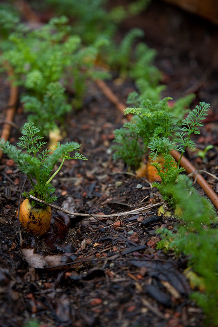 January 18, 2010 - Carrots in the Garden