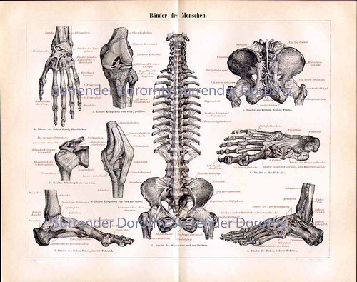 4290499531_492c1e1454 1887 human tendons antique german anatomy illustration a photo on