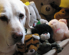 Why CAN'T All My Friends Stay Overnight? (aimeeern) Tags: bear dog canon toys pig bed labrador teddy tiger kitty moose retriever powershot teddybear stuffedanimals doggy doggie babar s5is