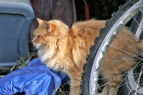 Long-Haired Orange-Buff Feral Cat