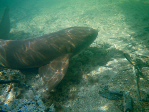 Photogenic Nurse Shark