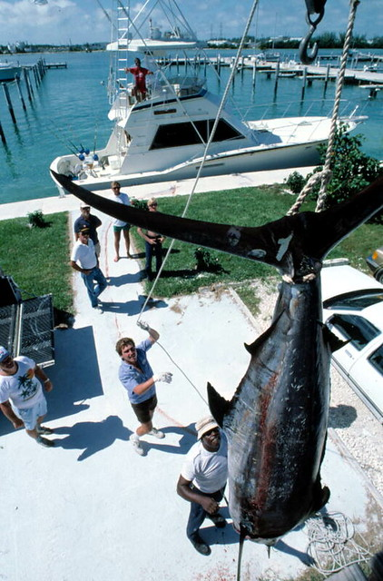 Blue marlin being weighed on scales at the Oceanside Marina: Key West, Florida