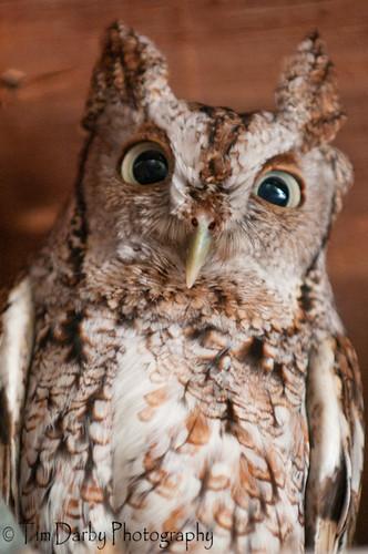 Eastern Screech Owl-89