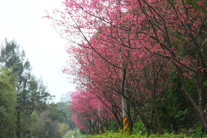 三芝櫻花道(淺水灣賞櫻路線)003