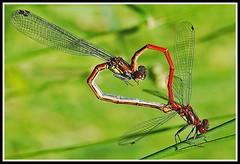 2-L'accouplement en cur et encore (gio.dino3) Tags: macro nature fauna natura insetto insecte libellule libellula faune