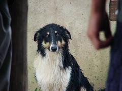 Perigo, the dog. (fsavian) Tags: dog white black cão branco brasil preto cachorro perigo riograndedosul vesgo estrabico estrabisco