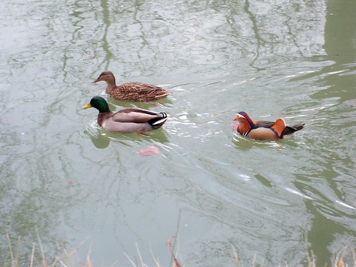 Ducks along the Canal Du Midi