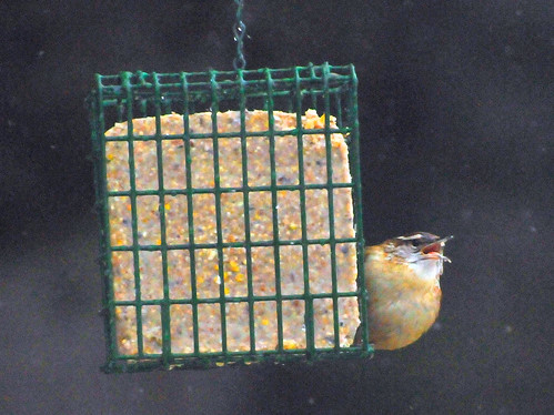 carolina wren suet