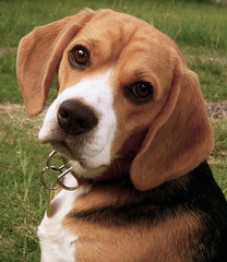Don't Look At Me Like That (CharmLady) Tags: dog beagle uruguay bonito hound perro tricolor romeo macho 2010 canelones caritalinda sabueso elpinar charmlady