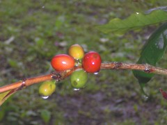 Coffea: Seeds: In Rain