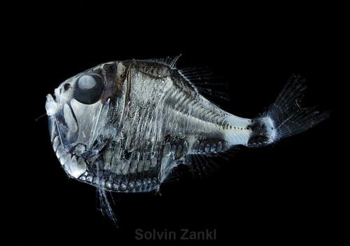 peces abisales,fotos de peces abisales,peces abisales gigantes,peces abisales con luz,peces abisales fotos,peces abisales documental,documental peces abisales