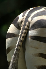 Nice Ass! (Felipe Roos) Tags: white animal zoo back zebra planet strips sapucaia