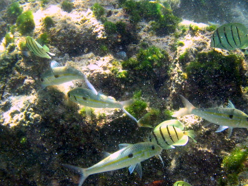 Goatfish and Convict Tang
