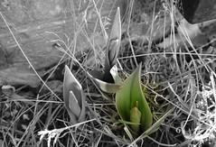 Die wachsende Tulpe