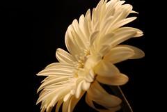 On the Side (Greg B Photography) Tags: gerbera daisy africandaisy onblack nikond80 gballa86 gballaphotography