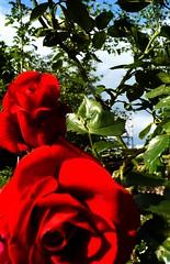 feel the roses,  lateral vision (eagle1effi) Tags: red flower macro rot nature rose closeup germany favoriten rouge deutschland flora flickr bestof photos redrose selection monastery fotos cloister makro tuebingen picnik auswahl kloster closer beste tübingen damncool tubingen bebenhausen württemberg badenwuerttemberg roterose selektion tubinga lieblingsbilder eagle1effi byeagle1effi naturemasterclass ae1fave ilroseto yourbestoftoday dibenga stadttübingen beautifulcityoftubingengermany beautifulcityoftübingengermany tagesbeste dibengâ tubingue