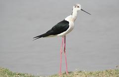 Black-Wing Stilt (NotMicroButSoft (Fallen in Love with Ghizar, GB)) Tags: pakistan nature birds wildlife sindh biodiversity avianfauna blackwingstilt