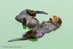 ca_slough_otter_07.08.27_763 (Bradley Photographic) Tags: ocean california animal mammal pacificocean northamerica centralcoast seaotter marinemammal vertebrate mosslanding enhydralutris