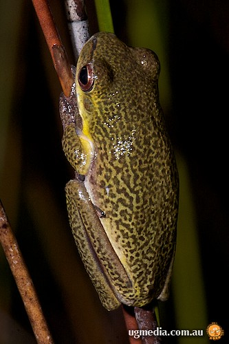 Cooloola sedge frog (Litoria cooloolensis)