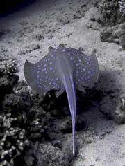 Pastinaca de Puntos Azules (Taenuria Lymma) (FRosselot) Tags: redsea scubadiving buceo marrojo