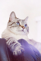 maomao. (Alli Jiang) Tags: pet cute love beautiful animal cat canon fur photography eos 350d paw furry feline sitting blueeyes kitty indoor cutie sit meow resting lovely pur maomao mew miaow purrr restingcat allijiang