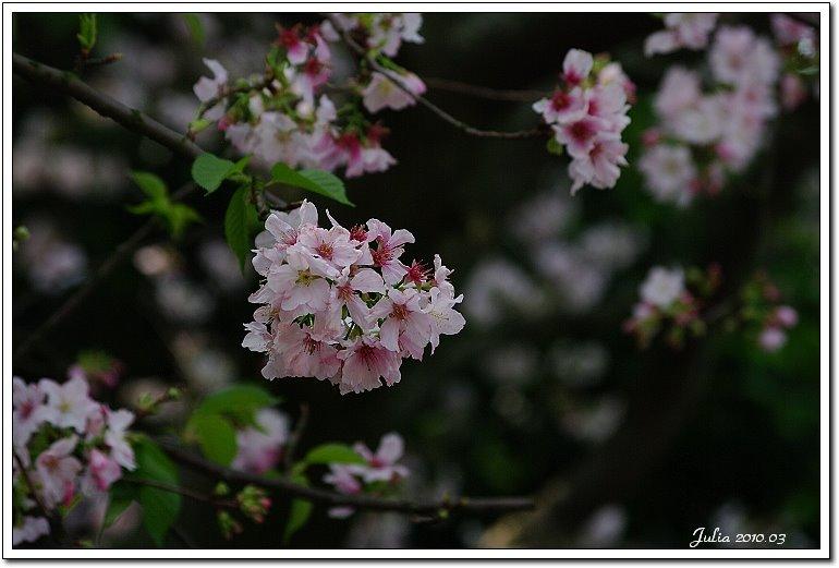 天元宮,櫻花 (16)
