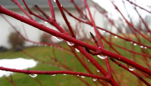 Raindrops on the dogwood