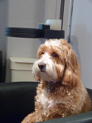 Salon Pup ~ Harvey the Cockapoo (Angie Naron) Tags: dog canine mansbestfriend cockapoo spoodle womansbestfriend mixedbreeddog urbanliftsalon angienaron harveythecockapoo photobyangienaron