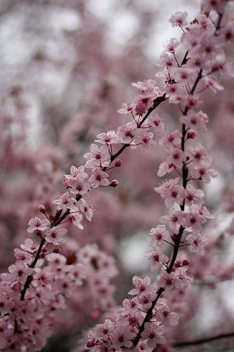More cherry blossoms.....