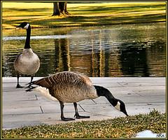 Fowl Weather? (SRApix) Tags: lake green water grass weather geese wildlife goose fowl foul srapix
