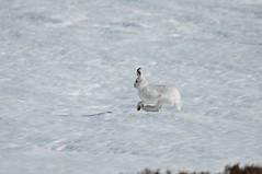 Mountain Hare (Paul Sammonds) Tags: mountain hare artic scoltland