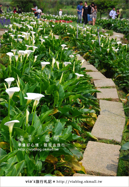 【2010竹子湖海芋季】陽明山竹子湖海芋季~海芋盛開囉!16