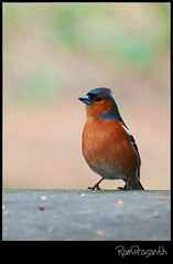 Chaffinch (FLASH MEDIA CREATIONS) Tags: pictures park nottingham uk wild england india lake bird nature birds animals advertising photography fly amazing interesting nikon pics fashionphotography wildlife wing creative insects lakeside ram tamilnadu naturepark nottinghamshire coimbatore chaffinch designing birdwatcher trentbuilding universityofnottingham professionalphotography eastmidlands foodphotography cbe productphotography prasanth fmc birdphotography industrialphotography d40 wildlifephotography nottinghamuniversity universityboulevard highfieldpark highfieldspark advertisingphotography ng7 beestonroad univeristypark ramprasanth jewelleryphotography photographycompany thewonderfulworldofbirds nottinghamwildlife designinglogo highfieldparknottingham flashmediacreations productphotographyincoimbatore industrialphotographyincoimbatore professionalphotographysolutions photographyprintinglogo coimbatoreweb